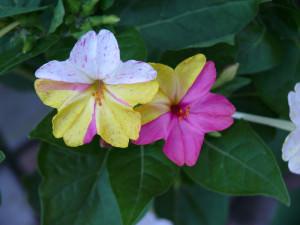 Мирабилис ночная красавица
