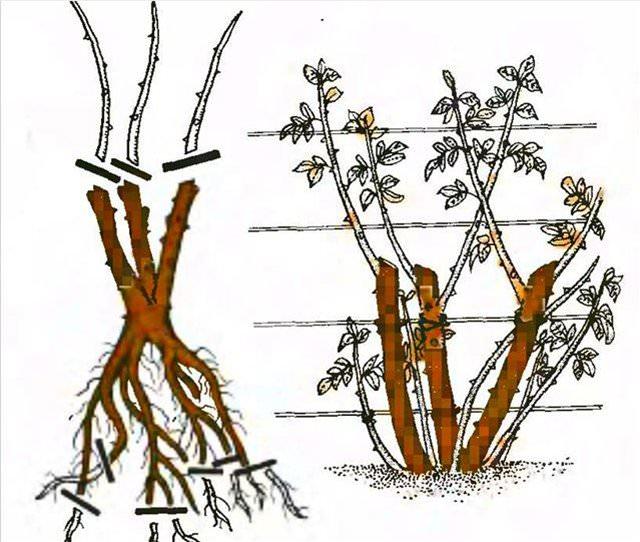 Обрезка плетистые розы уход и выращивание 5