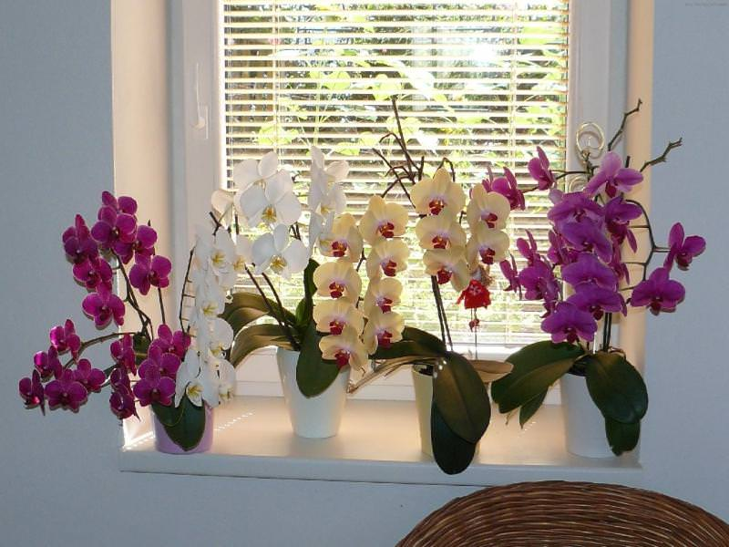 Орхидеи на окне