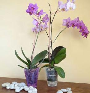 Орхиде в прозрачных горшках