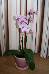Орхидея цветет