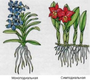Ответвление орхидей