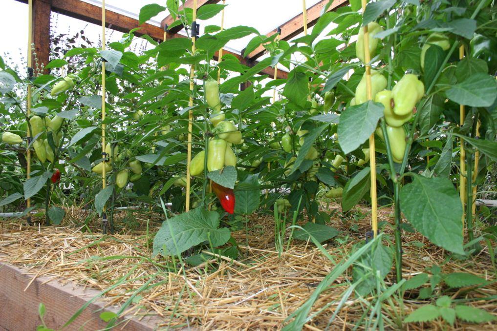 Особенности выращивания перец 33