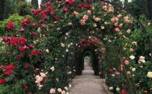 Плетистая роза: посадка, уход и способы размножения