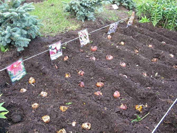 Выращивание зеленых саженцев винограда из черенков в домашних условиях 98