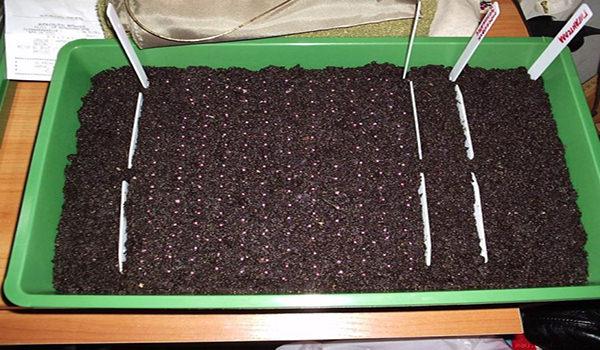 Семена клубники в ящике