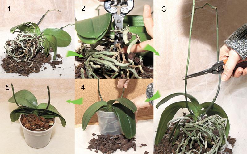 Пересадка орхидеи в фото