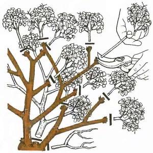 Срезка соцветий гортензии перед укрытием