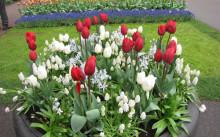 Сочетание тюльпанов с другими цветами