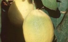 Виллафранка лимон
