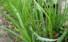 Многолетний лук на зелень под зиму — батун, слизун и многоярусный