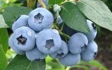 Сорт голубики садовой Блюголд