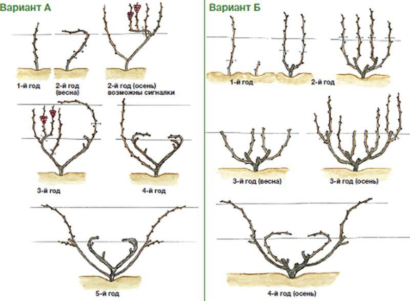 Схема веерной обрезки винограда