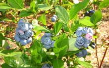 Сорт голубики садовой Дюк