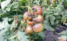 Как бороться с фитофторой на томатах?