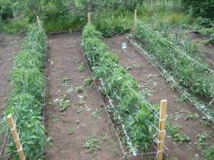 Ряды томатов