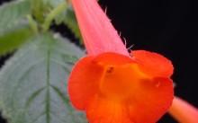 A. Heterophylla