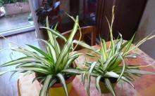 Chlorophytum Comosum Vittatum