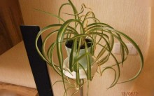 Chlorophytum comosum Curty Locks