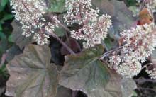 Heuchera villosa 'Purpurea'