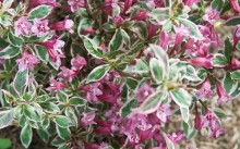 Weigela florida Monet