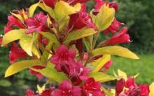 Weigela hybridа Aurea
