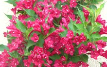 Weigela hybridа Red Prince