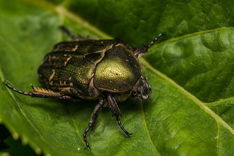 Бронзовый жук (Бронзовка)