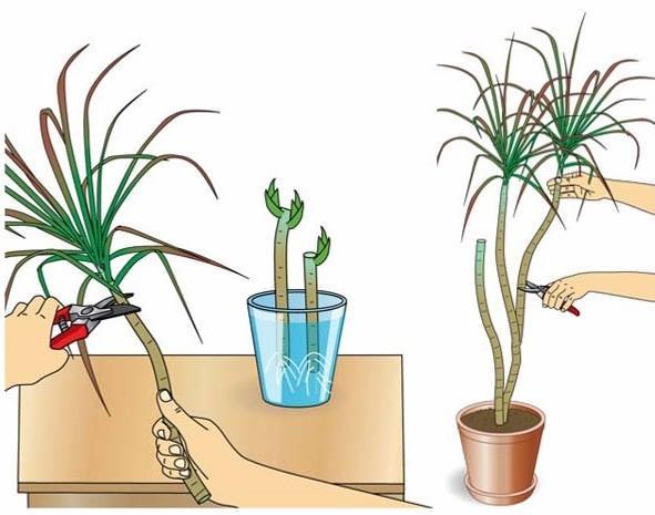 Размножение драцены черенками