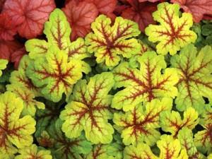 Листья гейхеры