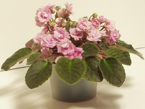 Розовая фиалка цветет