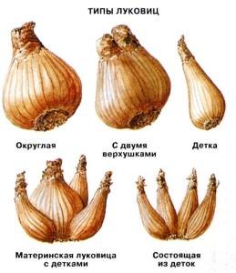 Типы луковиц нарциссов