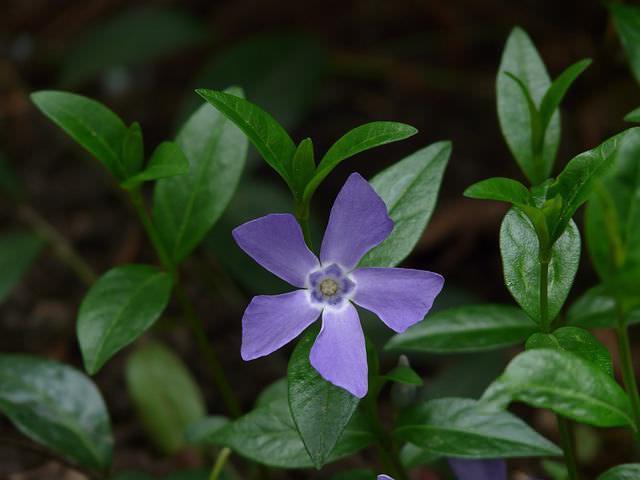 Барвинок (трава) – полезные свойства и применение барвинка, барвинок розовый, цветы барвинка