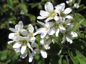 Цветы ирги