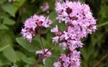 Ароматная трава в саду – Душица: полезные свойства и рецепты