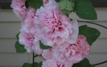 Chater's Double Pink