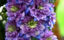 Delphinium Highlander elatum Blueberry Pie