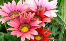 Как выращивать газанию и ухаживать за ней?