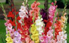 Разноцветье гладиолусов