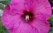 Hibiscus 'Plum Crazy'