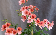 Pelargoniya-Angel's Eyes Orange