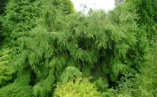 Thuja occidentalis Pendula