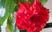 8 популярных комнатных цветов с красными цветками
