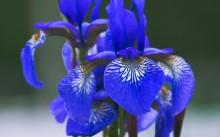 Сибирский синий ирис