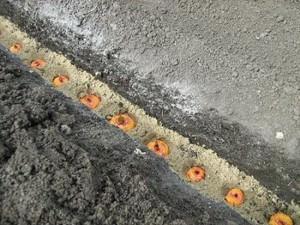 Луковицы гладиолуса в земле