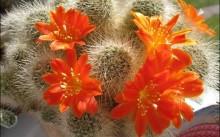 Красныецветы кактуса