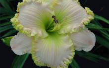 Лилейник Apple Blossom White