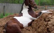 Лошадь на навозе