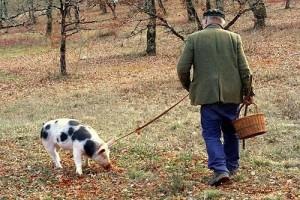 Поиск трюфелей со свиньей
