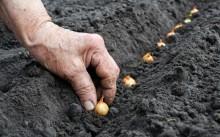 Как правильно посадить лук-севок, чтобы получить хороший урожай?